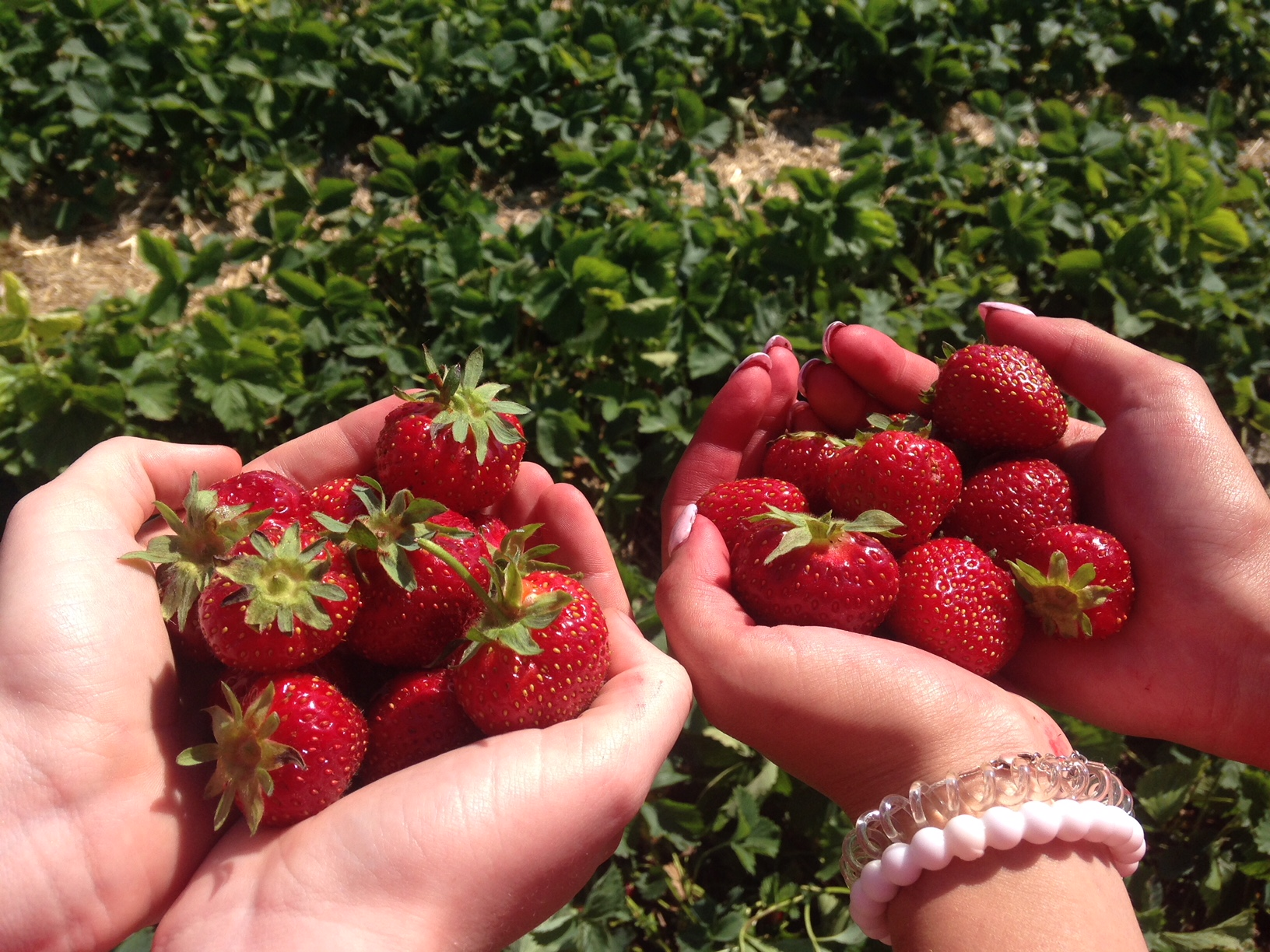 Picture of strawberries at Cormier's Berry Patch