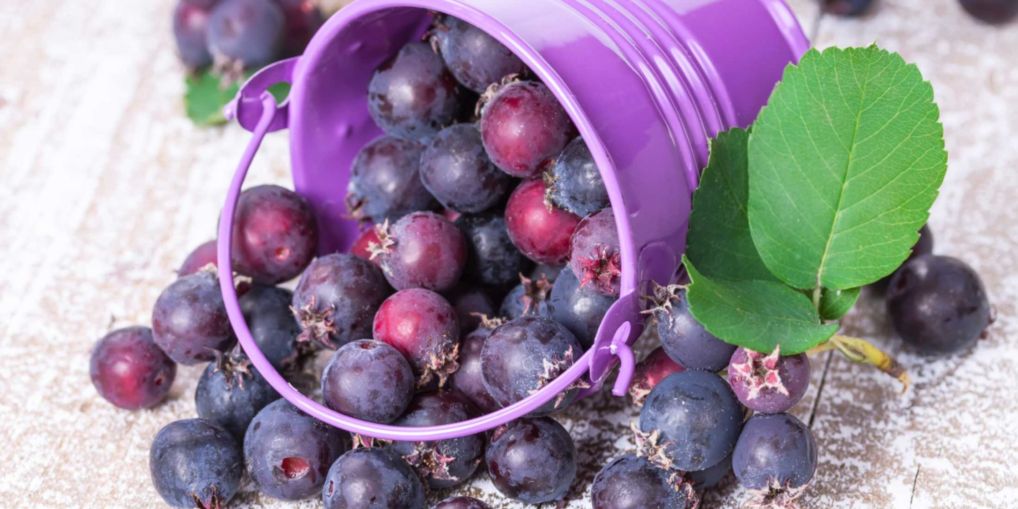 Image of saskatoon berries in bucket