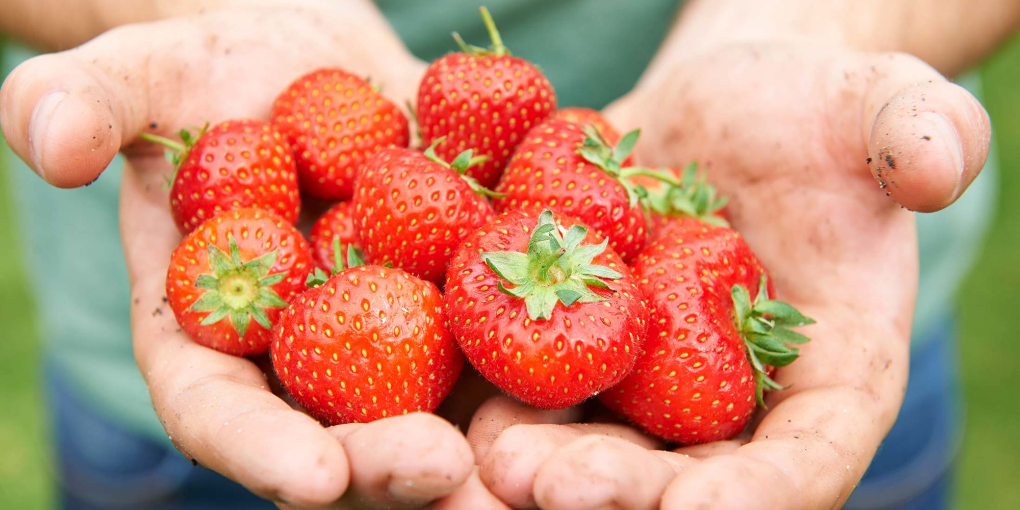 Image of hands holding freshly picked strawberries